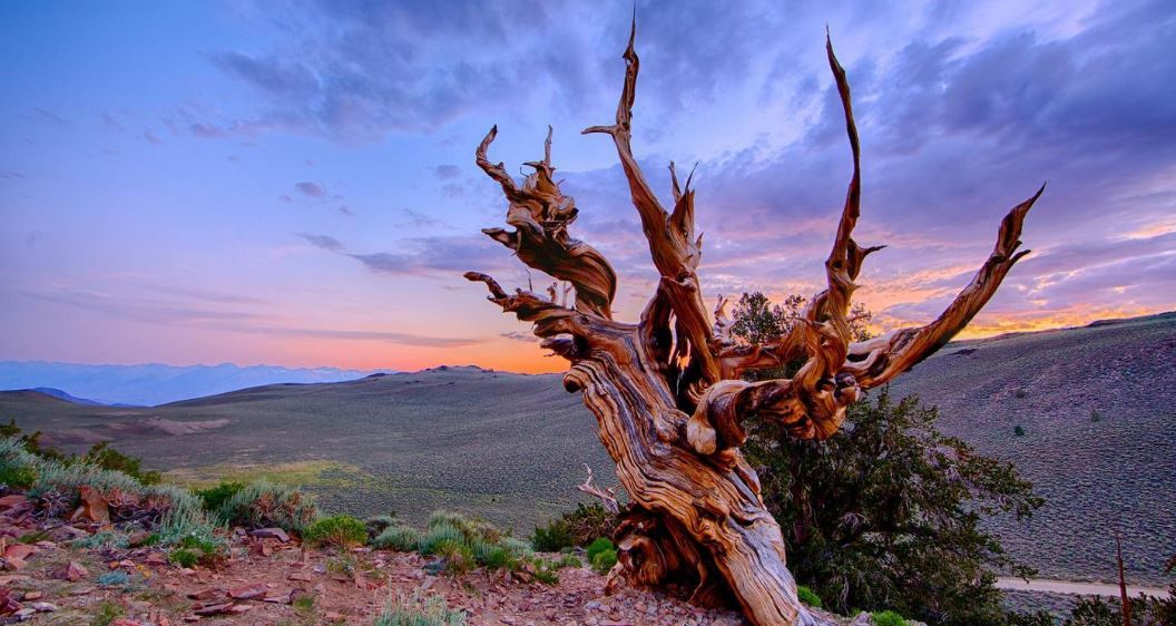 methuselah-tree-top-most-famous-wonderful-trees-in-the-world-2019