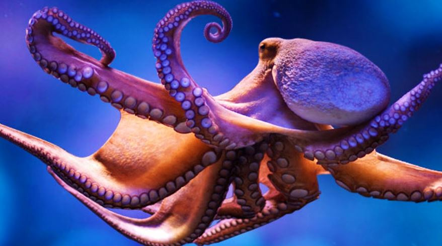 octopus-top-most-famous-intelligent-animals-in-the-world-2019
