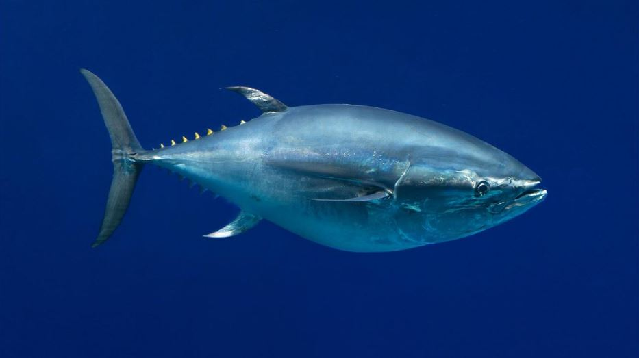 pacific-bluefin-tuna-top-famous-expensive-pets-2018