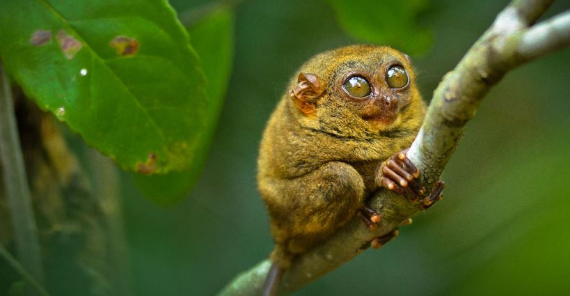 philippine-tarsiers-top-10-smallest-living-animals