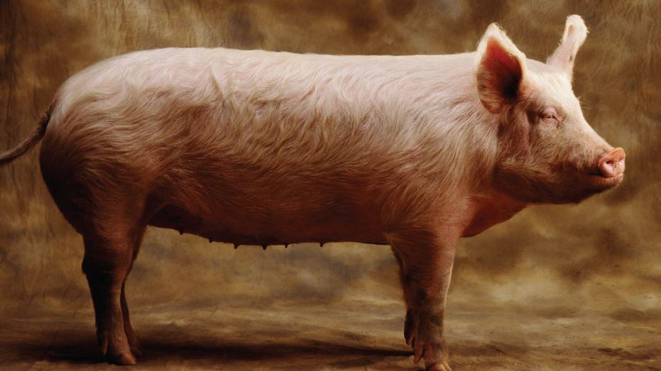pig-top-famous-intelligent-animals-in-the-world-2018