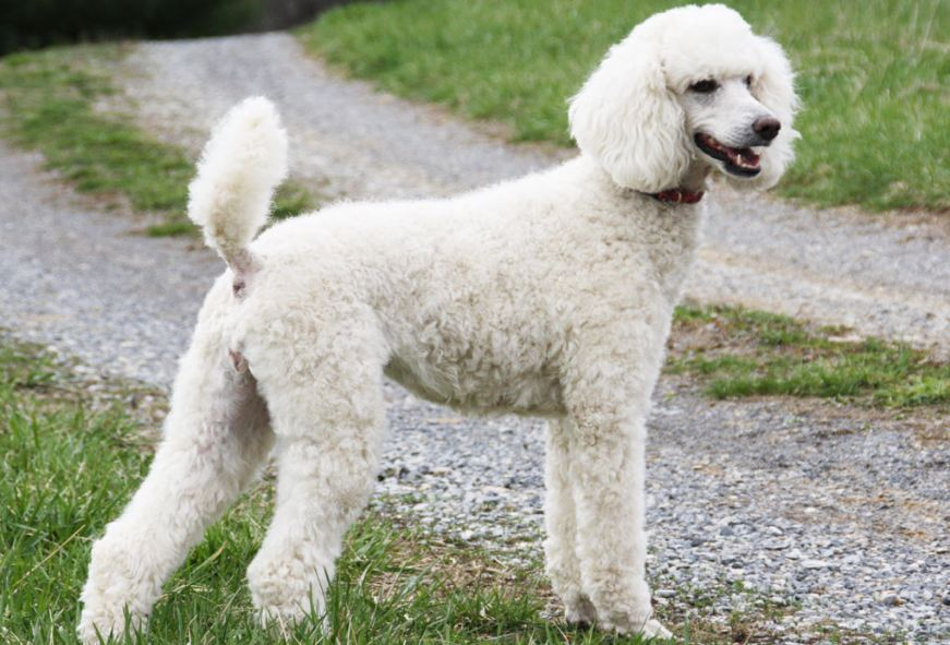 poodle-top-10-best-selling-dog-breeds-in-the-world-in-2017-2018
