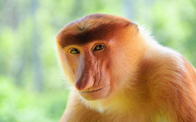 Proboscis Monkey Top Popular Ugliest Animals on The Planet Earth 2019