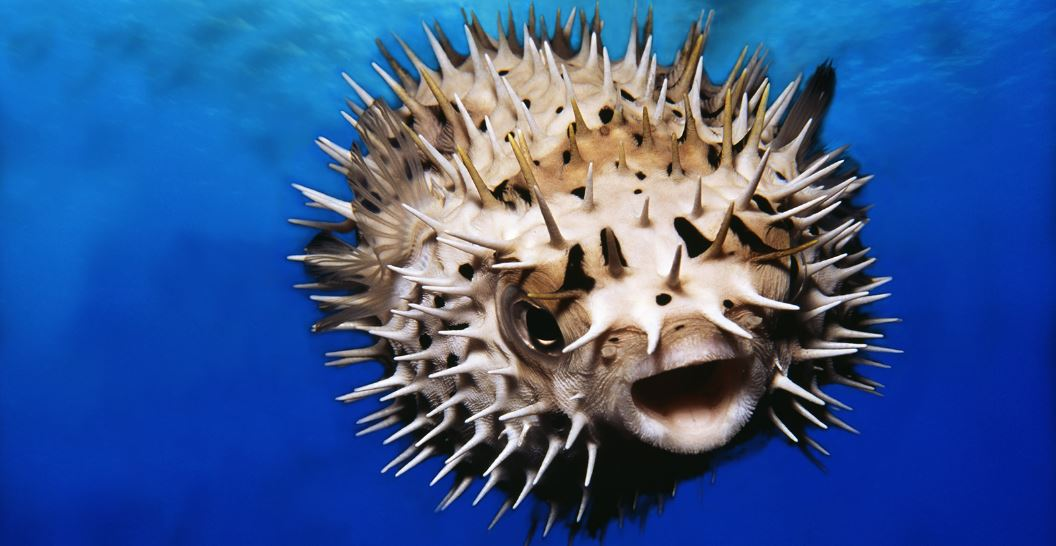 pufferfish-top-10-most-dangerous-fish-species
