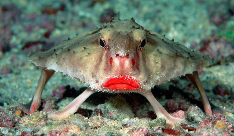 red-lipped-batfish-top-10-ugliest-animals-on-the-planet-earth