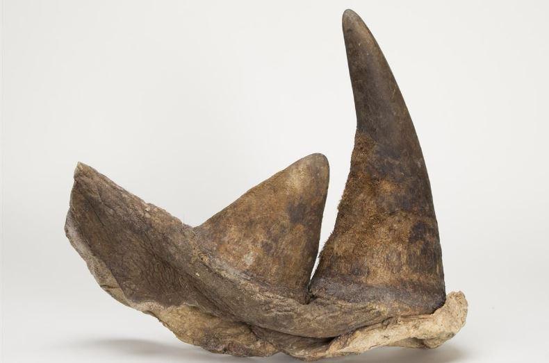 rhinoceross-horn