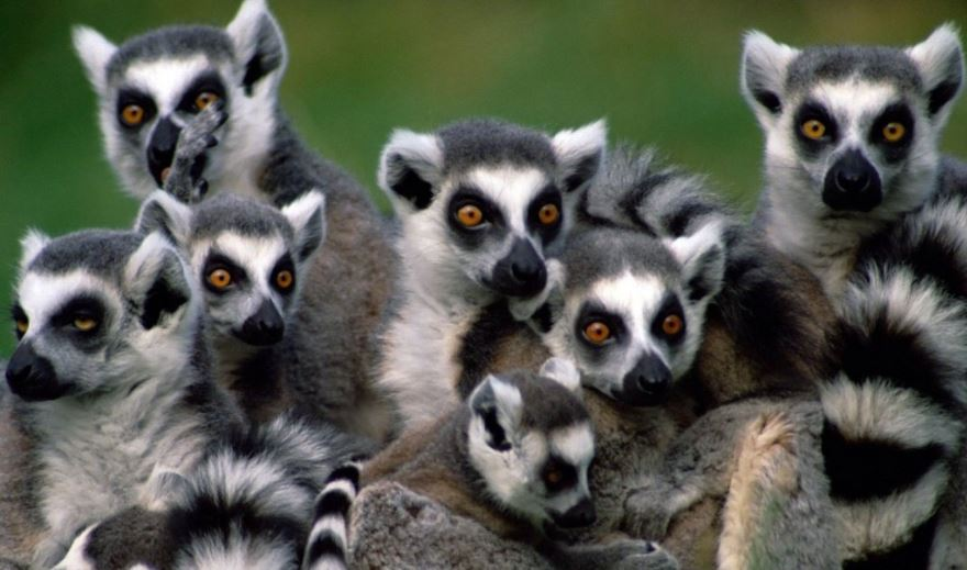 stealing-mentality-lemurs