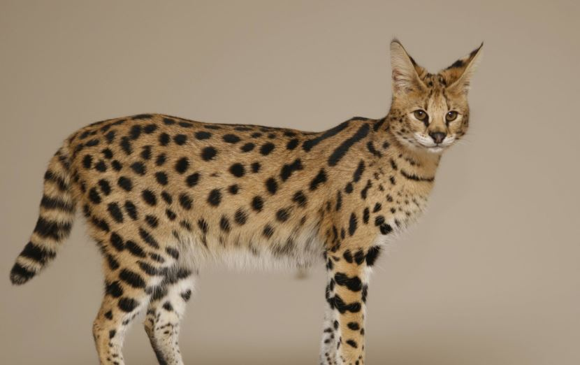 savannah-cats-top-most-famous-expensive-pets-2019