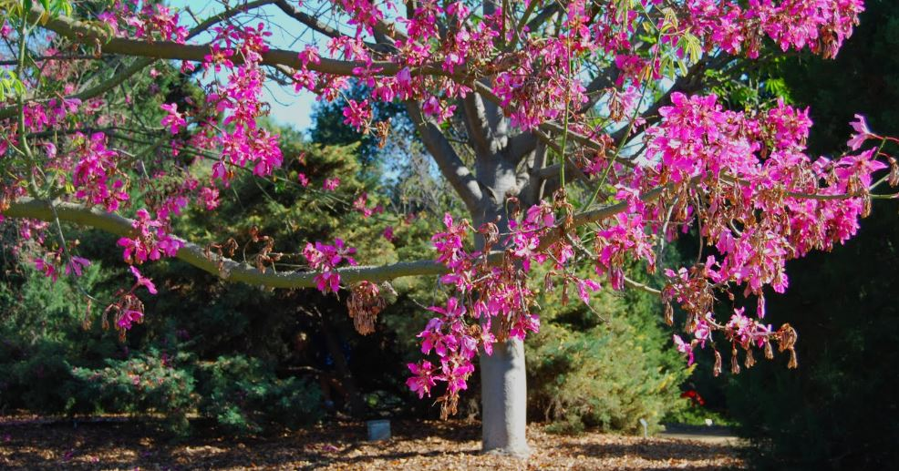 silk floss tree, Top 10 Wonderful Trees in The World 2017