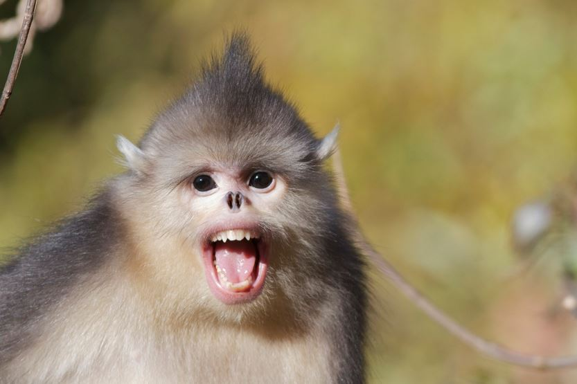snub-nosed-monkey-top-most-famous-strange-animals-in-the-world-2019