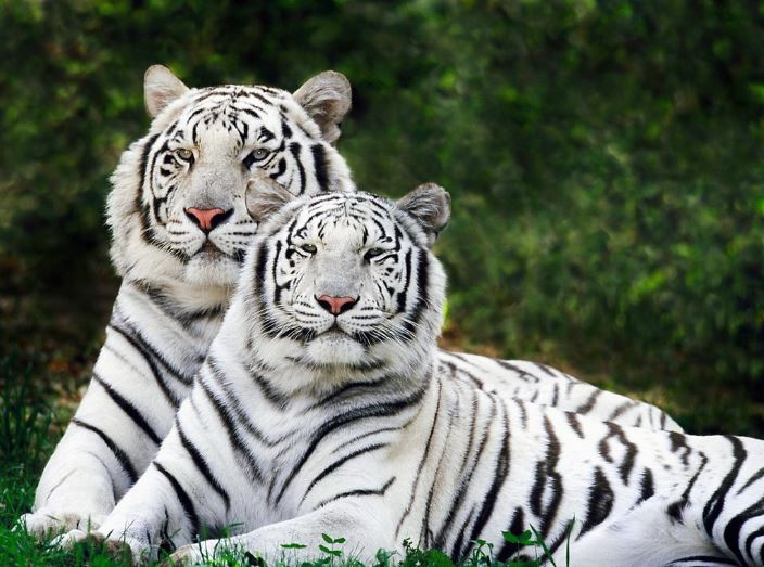 white-bengal-tigers