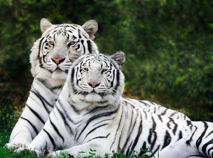 white-bengal-tigers