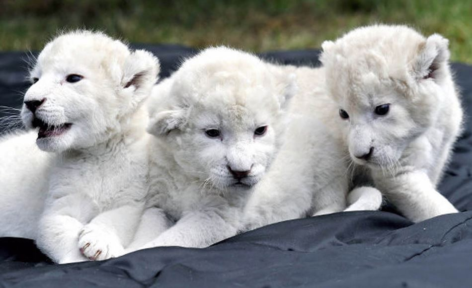 white-lion-cubs-top-most-expensive-pets-2017