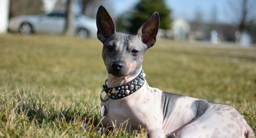 World's Most Ugliest Dog Breeds 2017, Top 10 List