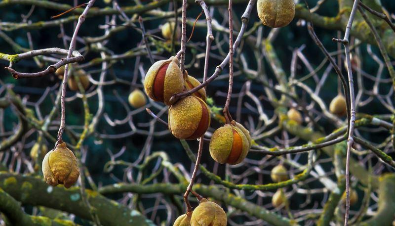BUCKEYE Top Famous Poisonous Plants That Look Edible 2017