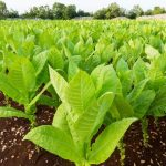 Top 10 Most Poisonous Plants That Look Edible